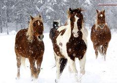Vista Verde Ranch, Steamboat Springs, Colorado -- horses running in winter snow