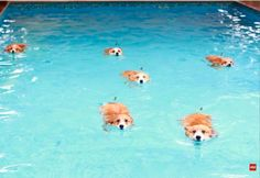 One, two, three, four, five, six swimming corgis! Am I dreaming again??