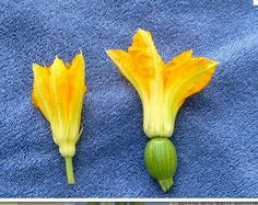 Black Beauty Zucchini - The female flowers have a zucchini attached and the males do not - http://squarefoot.creatingforum.com