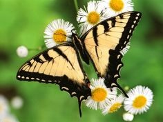 butterfly - Bing Images