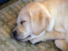 YELLOW LABRADOR PUPPY Photo Greeting Card by overthefenceart, $5.00