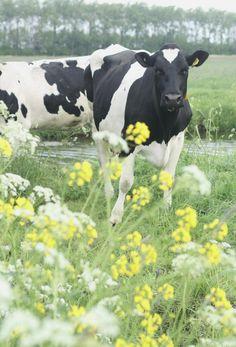 Linda vaca holandesa