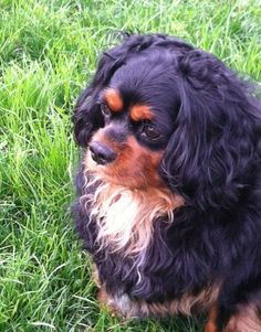 Meet RHETT a Petfinder adoptable Cavalier King Charles Spaniel Dog | Wooster, OH | Rhett is a purebred Cavalier King Charles Spaniel who came into rescue suddenly when his owner went...