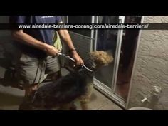Mountain Airedale Terrier meets Airedale Puppies