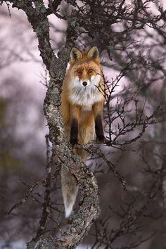 Fox in a tree by Kjartan Trana