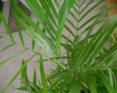 15 houseplants for improving indoor air quality: Bamboo palm (Chamaedorea sefritzii) Also known as the reed palm, this small palm thrives in shady indoor spaces and often produces flowers and small berries. It tops the list of plants best for filtering out both benzene and trichloroethylene. They're also a good choice for placing around furniture that could be off-gassing formaldehyde.