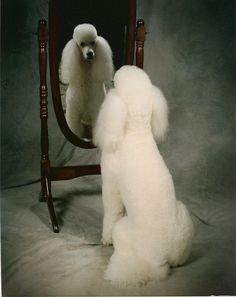 #Standard #Poodle #white
