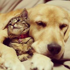 tabby cats, anim, dogs, golden retrievers, pet, dog cat, heart warming, kittens, friend