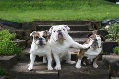 ha!! #bulldog