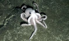 Pale octopus alongside deep-sea hydrothermal vents where temperatures can reach over 750F.