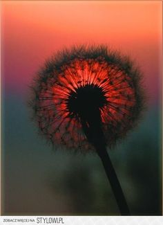 nature beauty, sunset pictures, red, dandelion, colors, sunris, dandy, flower, eyes
