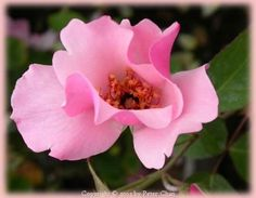 """""""Dainty Bess"""" Hybrid Tea Rose.  I have to wait until June to order, January to receive."""