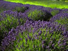 Tips for growing Lavender in containers | McEwen Farms