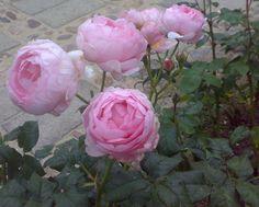 Constance Spry David Austin Roses