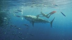 Free diving with Great Whites!!