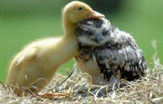 owls: impossible to please, even when being cuddled by a fuzzy duckling