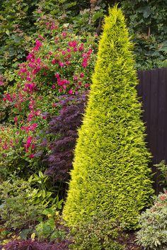 Lawson cypress 'Golden Wonder' as a living Christmas tree next year. chamaecypari lawsoniana, garden ideas, lawson cypress, cypress golden, golden wonder, garden interior