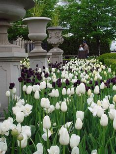 Beautiful white Tulip garden