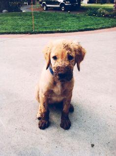 puppies, anim, chocolates, mud, golden retrievers, chocolate labs, happy puppy, happy dogs, bath time