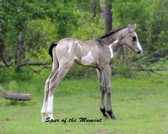 grulla paint foal