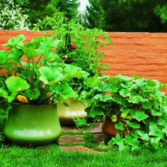 container gardening article... squash plants take up too much room for my beds but look *amazing* in these giant pots. Gotta do this next year!