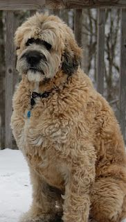Would absolutely love one of these!  This is my Harley and he is now 6 years old as of yesterday....Saint Berdoodle - St. Berdoodle