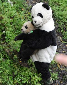 Chinese workers wear panda costumes to return cub to wild