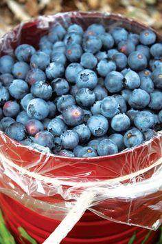 blueberri bucket, organic gardening, art grow, idea, blueberry growing, buckets, grow blueberri, blueberries, berri blue