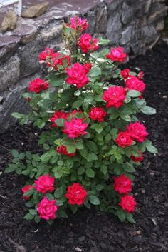 Pruning tips for Knockout Roses - not necessary but will perform better, prune in early spring by about 1/3 of height
