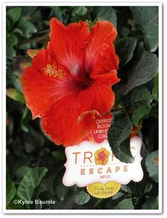 STUNNING Tropic Escape Hibiscus from @Costa Farms photo by @ourlittleacre