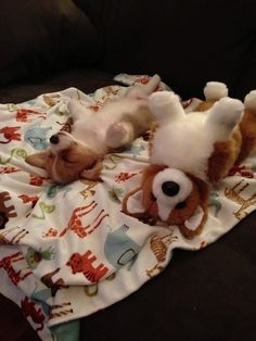 Corgi pup and it's stuffed twin....so funny