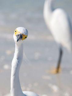 hello egret