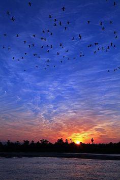 Herons On The Nile (Egypt)