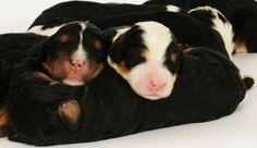 Bernedoodle newborn pups from Swissridge kennels pet shop, thing human, dog breed, anim dog, bernes mountain, canin angel, mountain dog