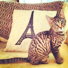 Our Egyptian mau kitten Saffron