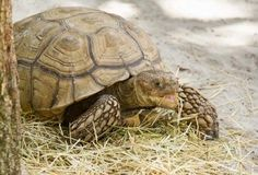 Come say hi to Aquatica's newest residents, African spurred tortoises! #animal #Aquatica