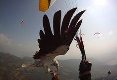 """Parahawking"" combines paragliding and falconry!"