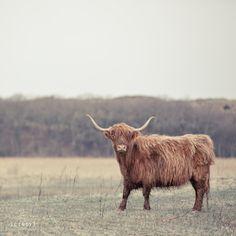 scottish highlander - @Marcia Cunha Johnson look what I found on Pinterest!