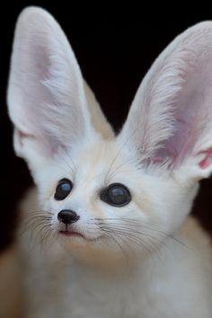 animal rights, fennec fox, pet, white, creatur, wildlife, ears, baby animals, foxes