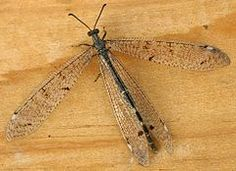 Antlion - Wikipedia, the free encyclopedia