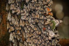 common view of butterfly cluster in Michoacan