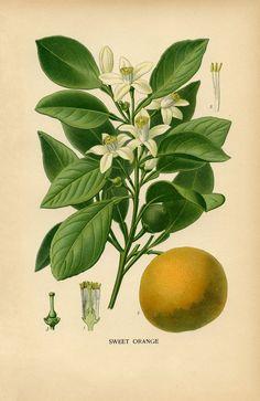 Vintage Botanical Print- Sweet Orange