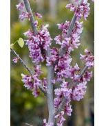 Eastern Redbud (Cercis canadensis) - Monrovia - Eastern Redbud (Cercis canadensis)