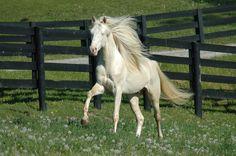 white friesian horse