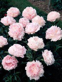 Dividing Perennials             Save money in your garden and keep your perennials healthy by dividing them properly.