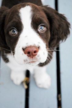 Baylee English springer spaniel puppy spotted cute nose
