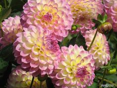 Pink and yellow Dahlias...sigh