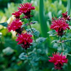 Bee Balm  Bee balm is an old-fashioned favorite that produces flowers in shades of red to pink, lavender, and purple. It grows in heavy, clay soil, attracts hummingbirds, and is deer- and rabbit-resistant. Needs regular to ample water.  Name: Monarda selections  Zones: 3-9