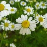 *GERMAN CHAMOMILE* The flowers are used as a nervine tonic. Also anti-inflammatory and pain-relieving for a wide range of conditions along the digestive tract. It is also a blood thinner so never use it during pregnancy or if you take similar medications. http://homesteadlady.com/must-have-must-grow-medicinal-herbs/#