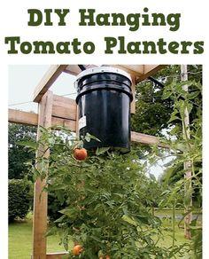 DIY Hanging Tomato Planters!  {simple gardening trick to grow fabulous tomatoes!} #tomatoes #gardening